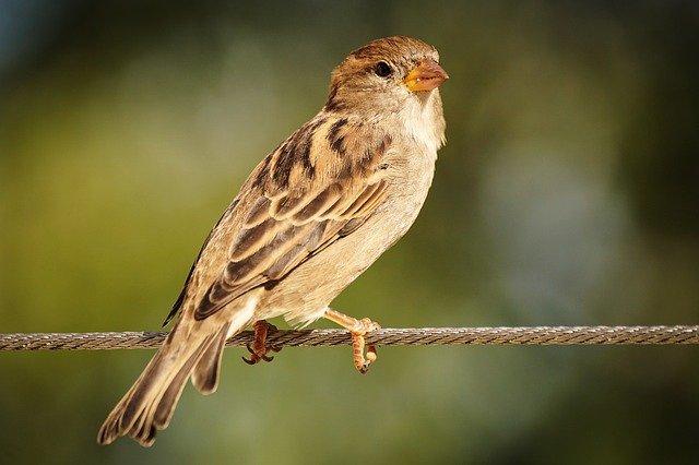 female-sparrow-names