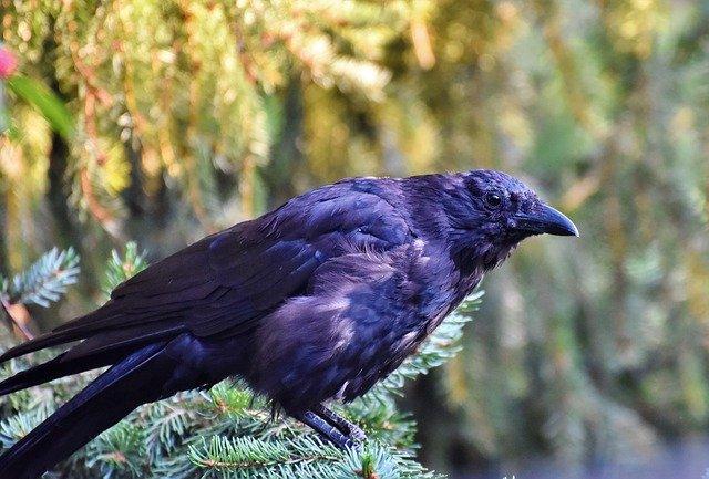 famous-raven-names