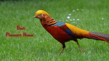 best-pheasant-names