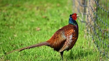 male-pheasant-names