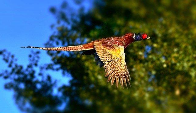 cool-pheasant-names