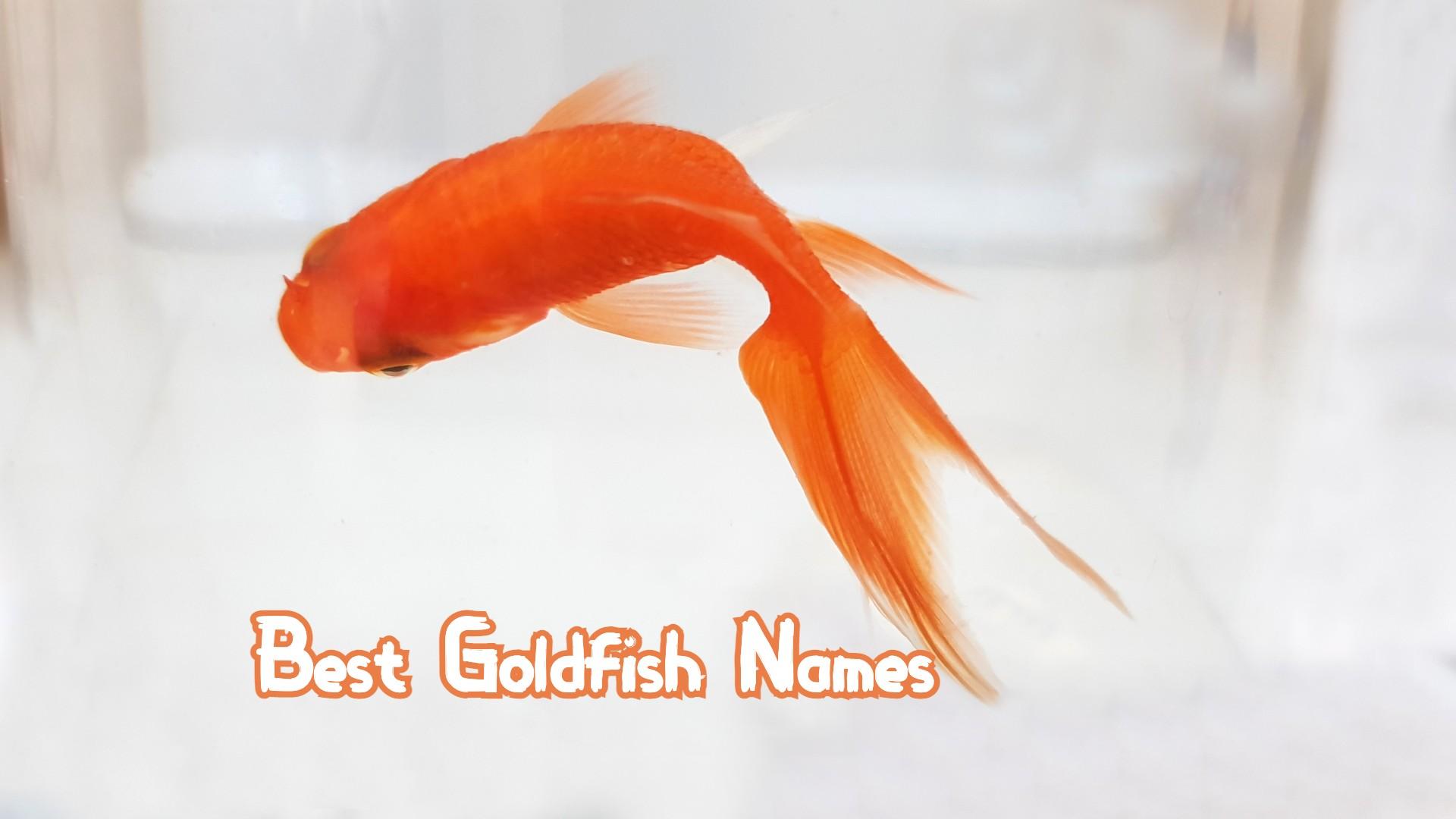 best-goldfish-names