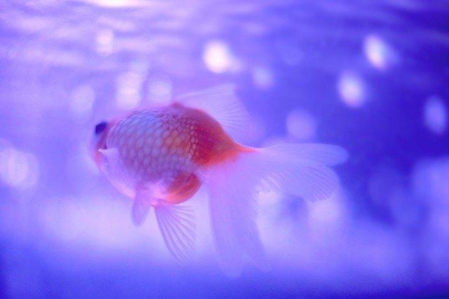 girl-goldfish