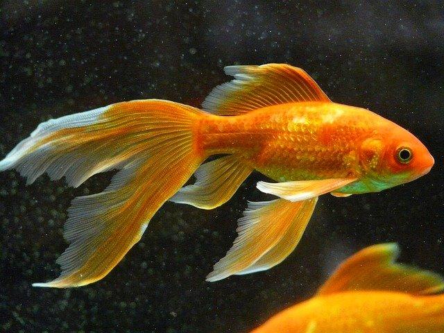 boy-goldfish
