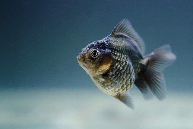 fat-goldfish