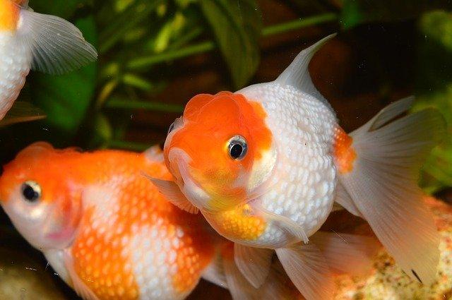 pairs-goldfish