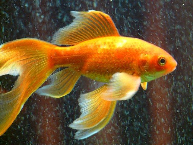 funny-goldfish