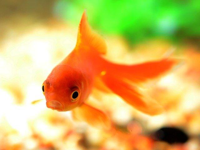 orange-goldfish