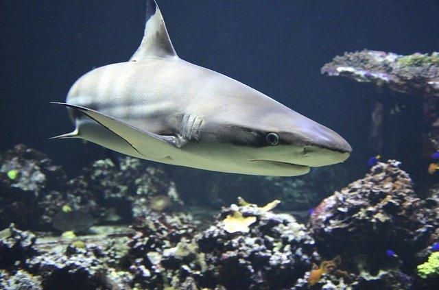 male-shark