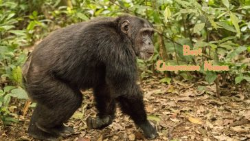 best-chimpanzee-names