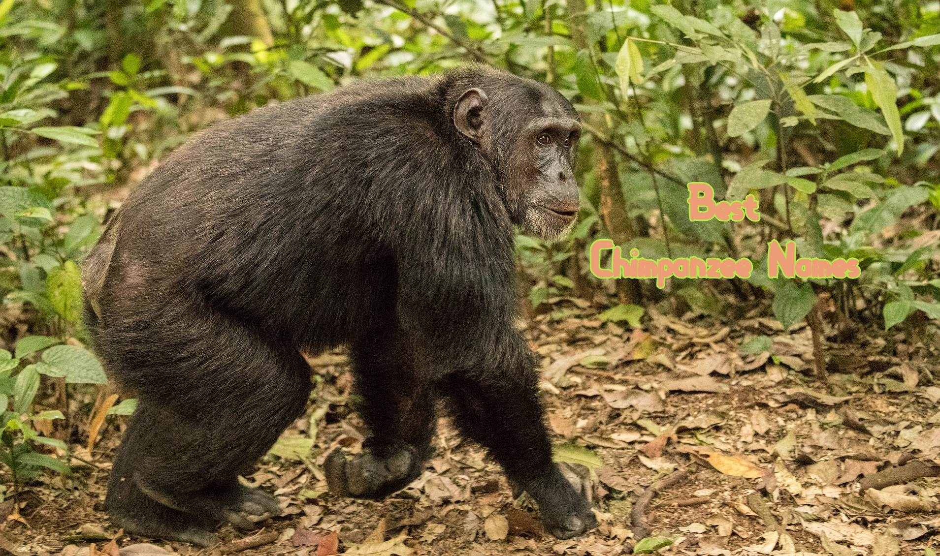 best-chimpanzee-names