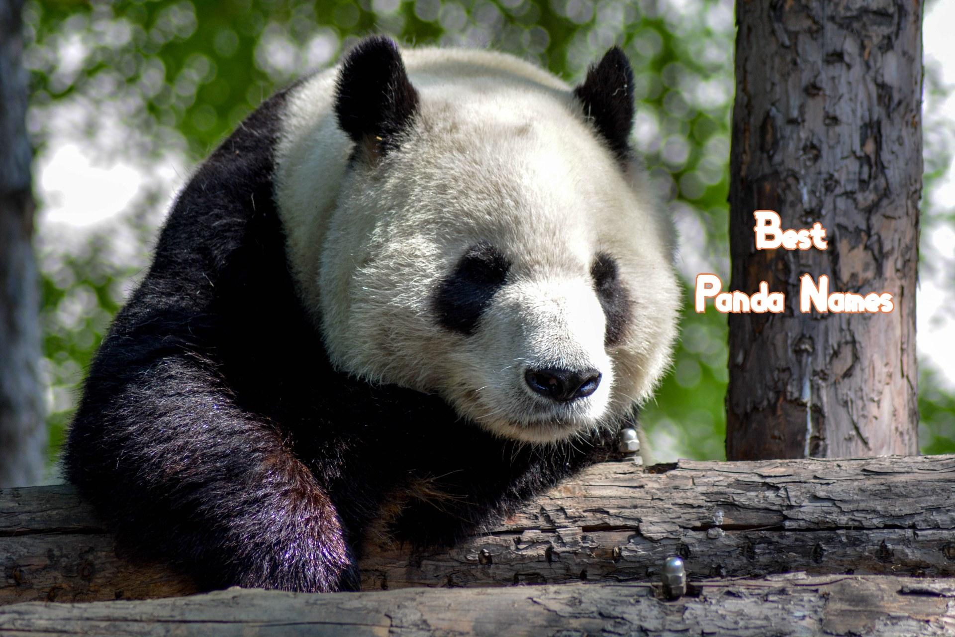 best-panda-names