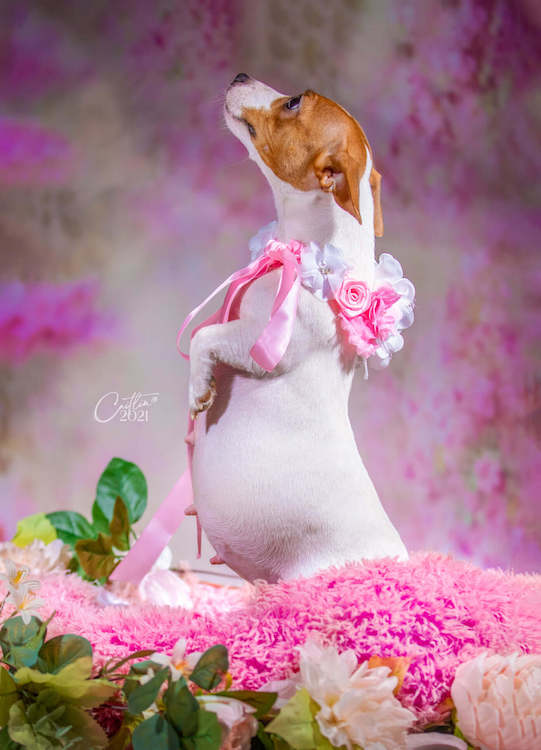 pregnant dog with an adorable maternity photoshoot