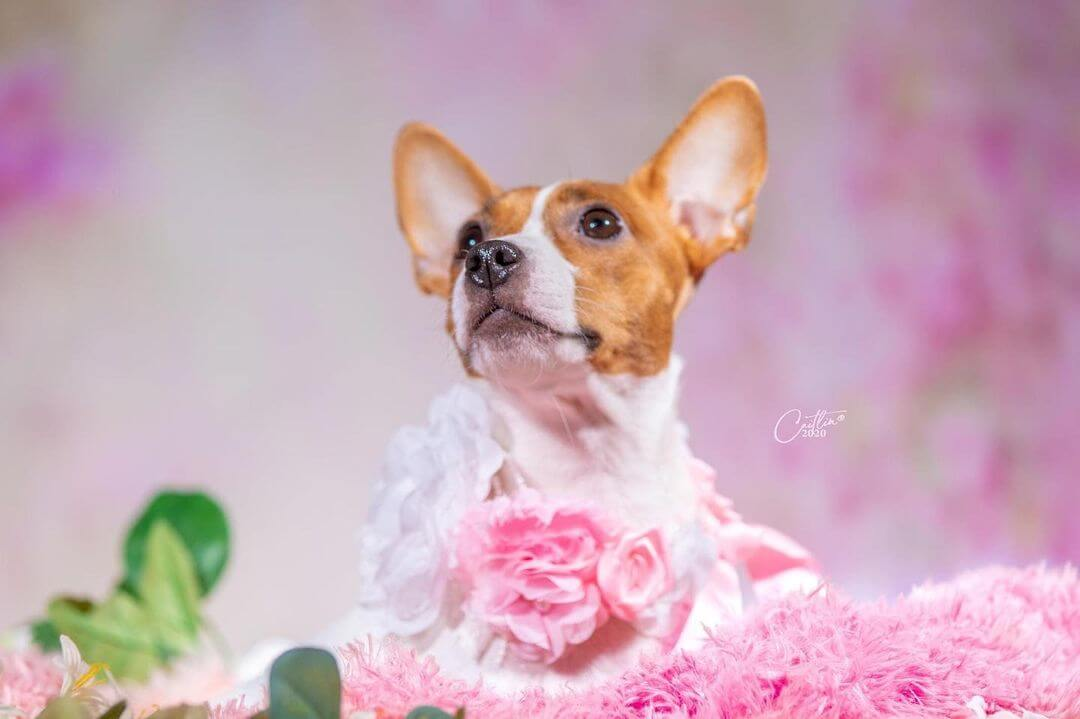 pregnant dog with an adorable maternity photoshoot - close up