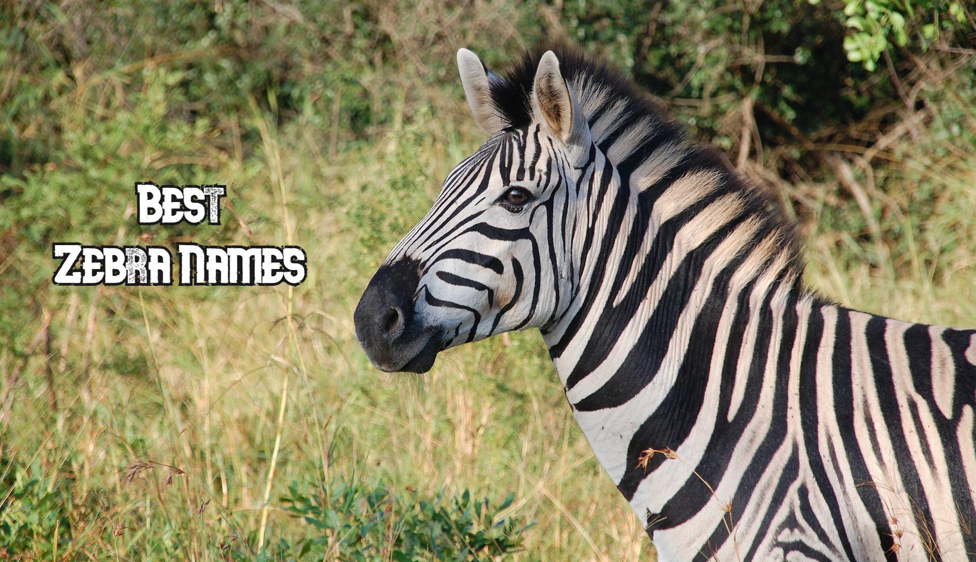 best-zebra-names