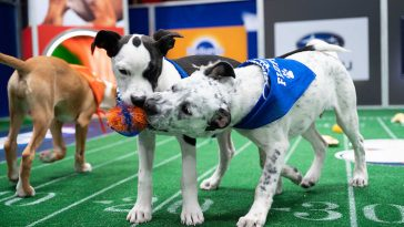 dogs play tug of war to bring the toy to a touchdown