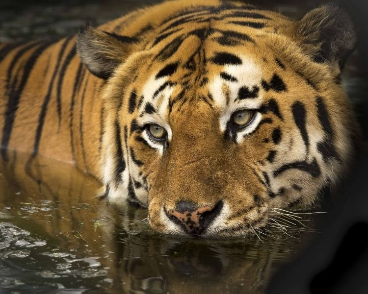 tiger name generator for a large tiger