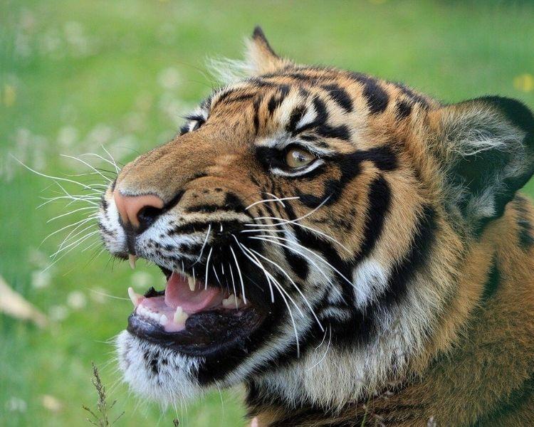tiger name generator for a medium tiger