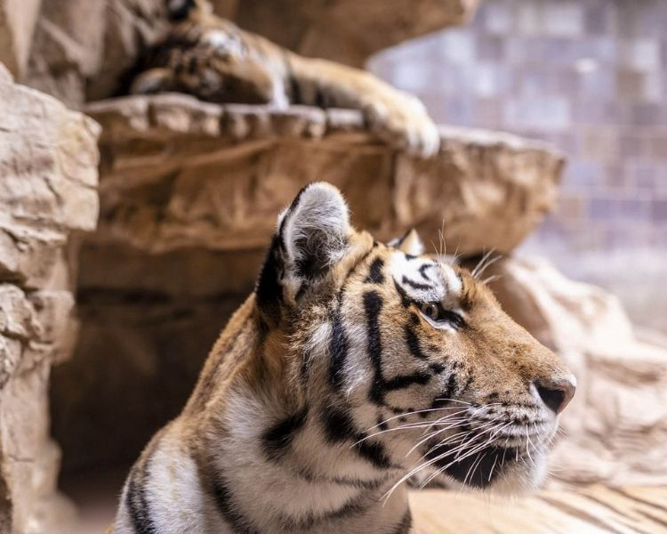tiger name generator for a baby tiger
