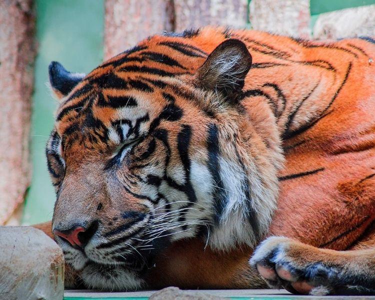 tiger name generator for a medium female tiger
