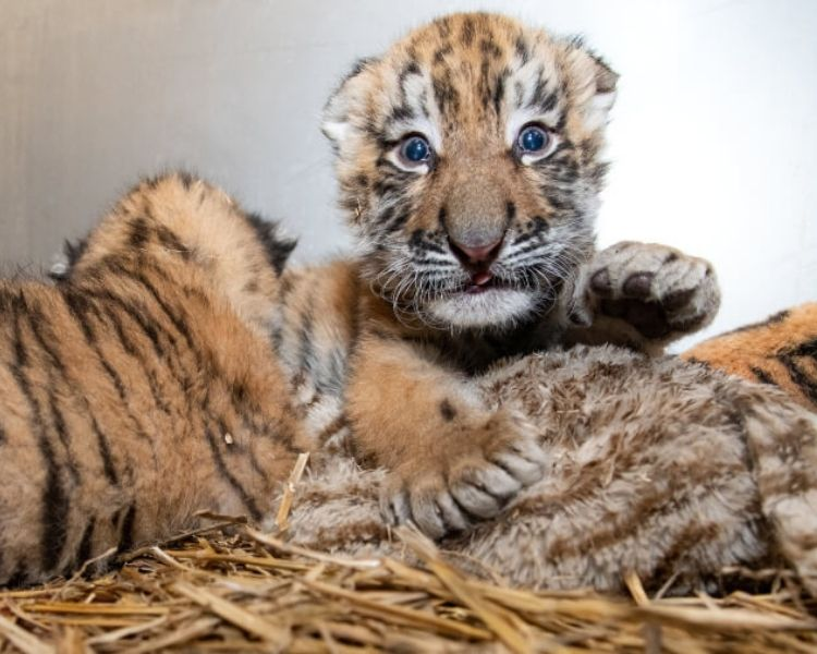 tiger name generator for a baby female tiger