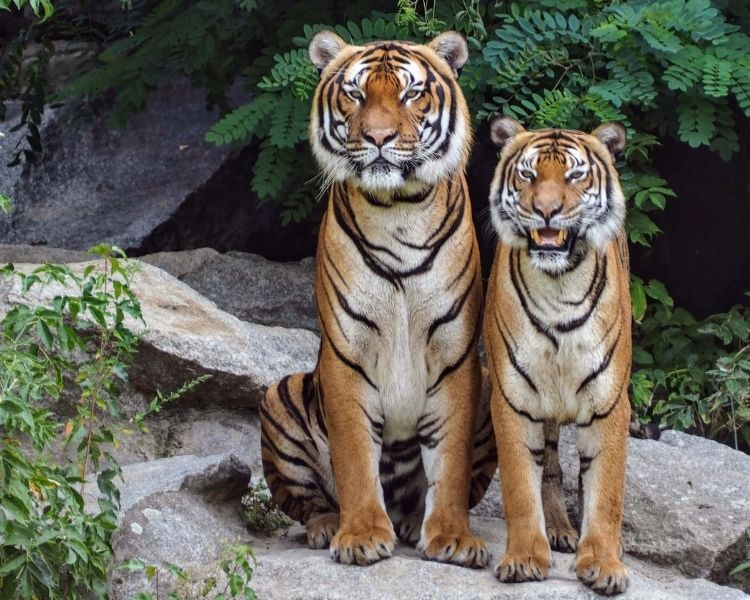 tiger name generator for a pet