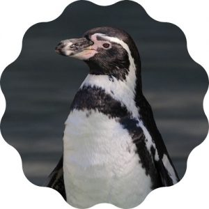 create the best penguin name in this penguin name generator