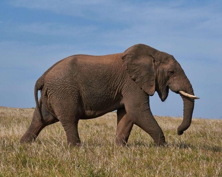 elephant name generator for an extra large elephant