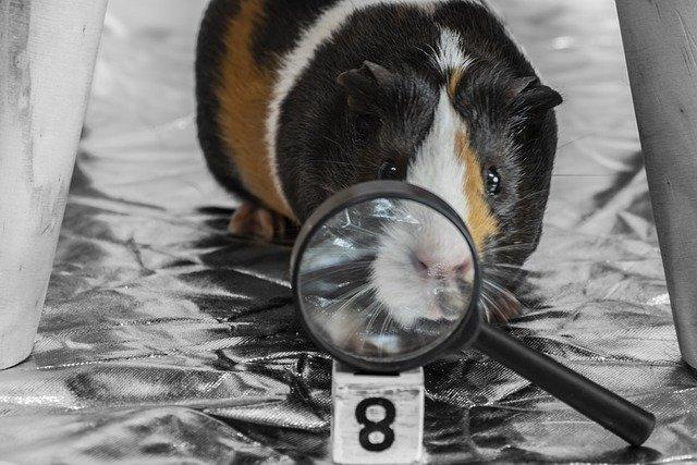 funny-guinea-pig-names