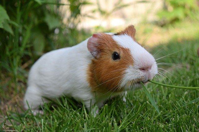 funny-female-guinea-pig-names