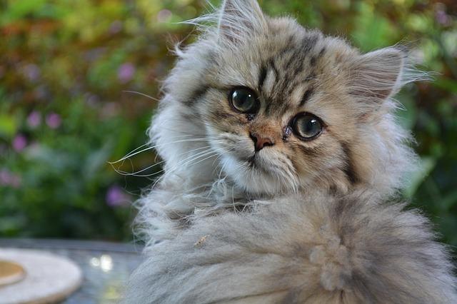 female-arabic-persian-cat-names