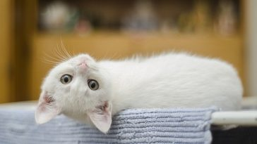 funny-white-cat