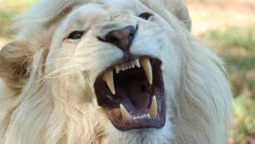 white lion names