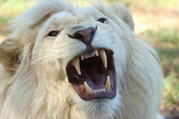 white lion names