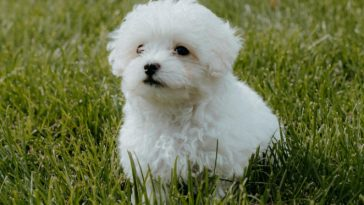Why Maltese Dogs are Good for Children