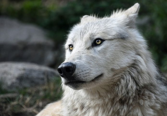 wolf names for naming a wolf