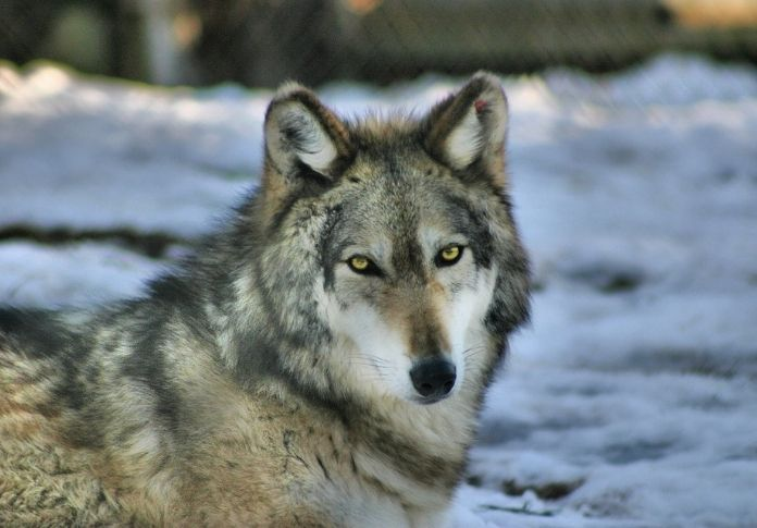 Wolf name generator - Eye Color