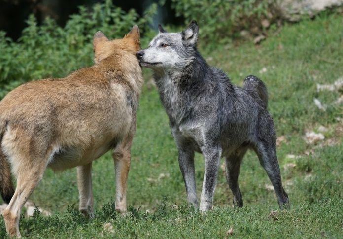 Wolf name generator - FurColor