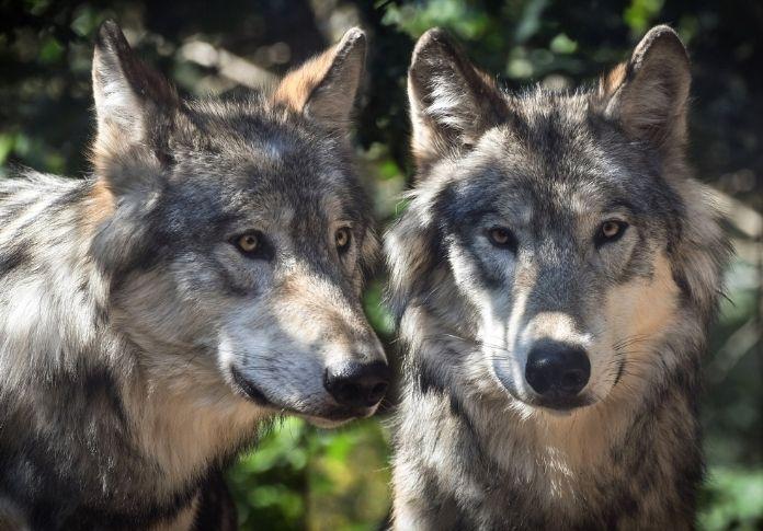 Wolf name generator - Sex