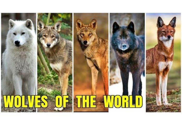 Wolf name generator - Species