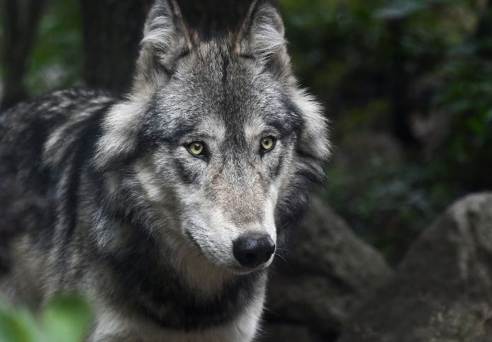 evil wolf names