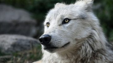 gaelic wolf names
