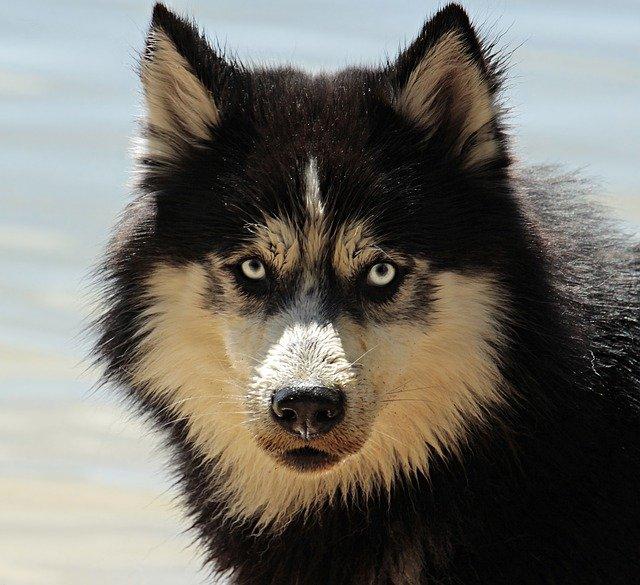 husky-protector
