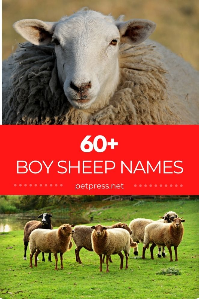 boy sheep names for naming a sheep