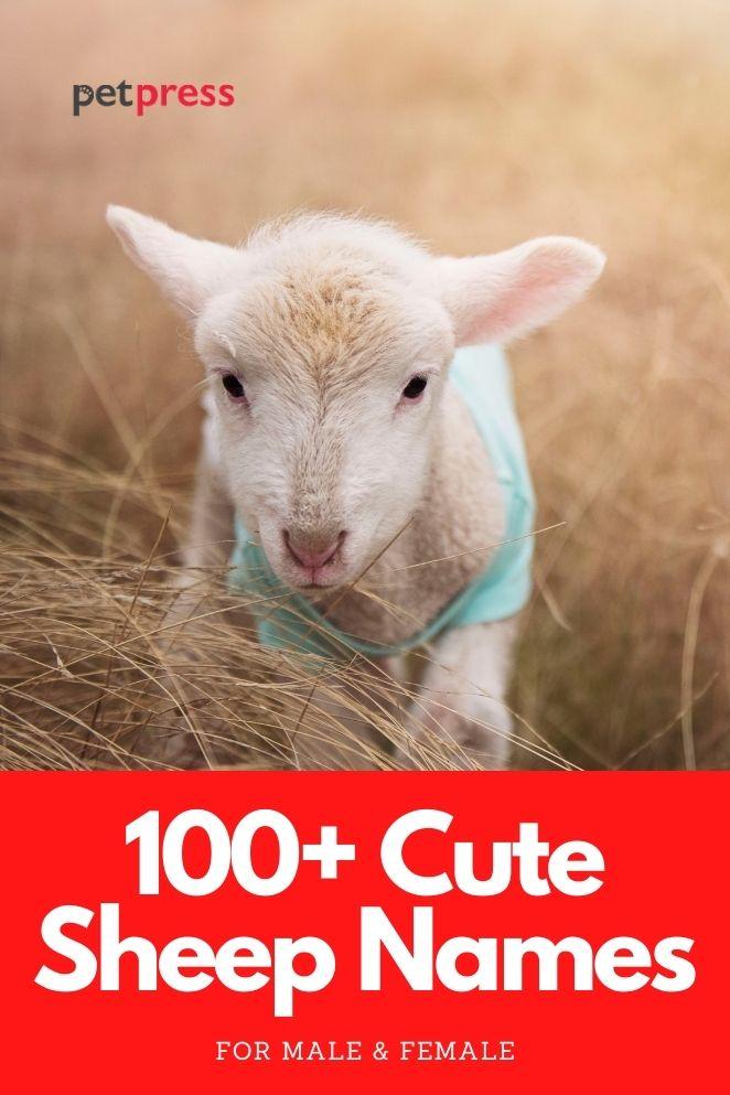 cute sheep names for naming a sheep