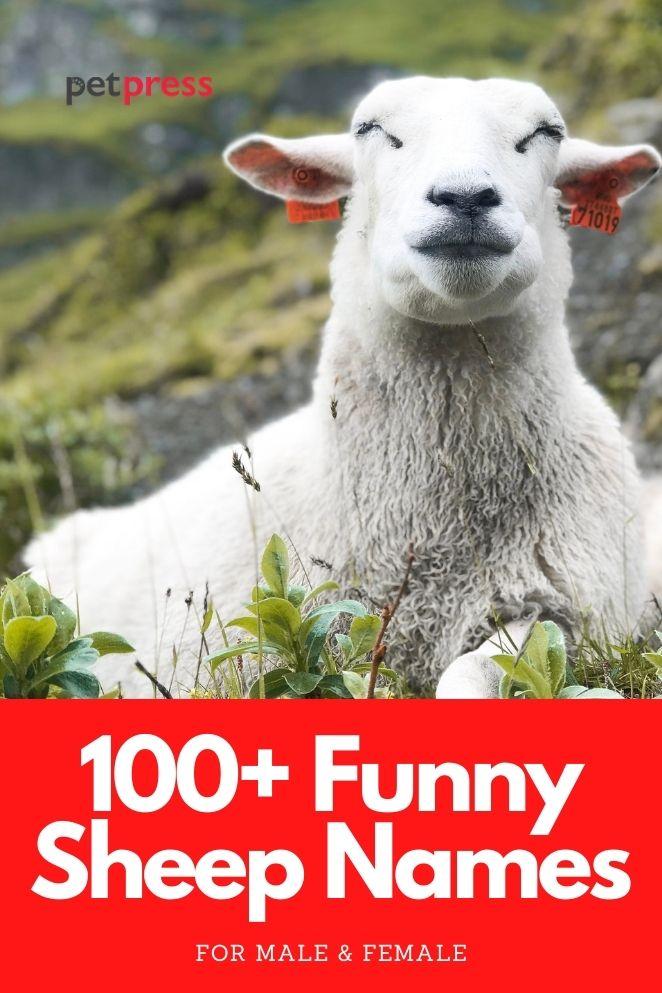 funny sheep names for naming a sheep