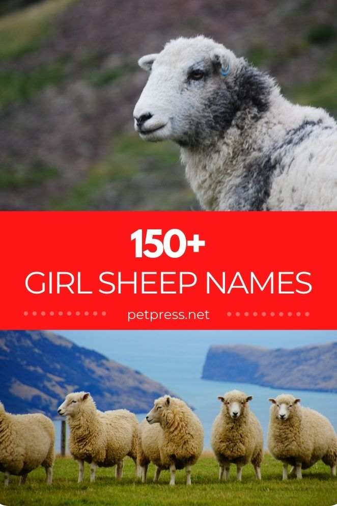 girl sheep names for naming a female sheep