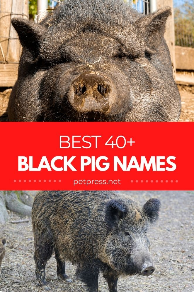 black pig names for naming a black pig