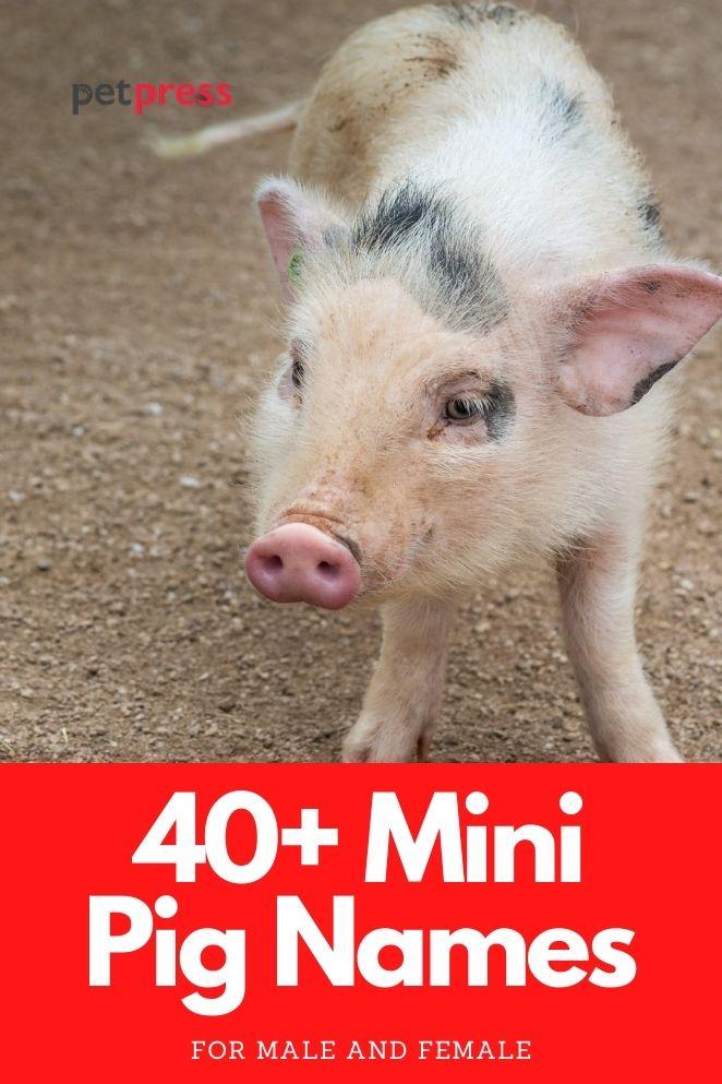 mini pig names for a piglet or teacup pig
