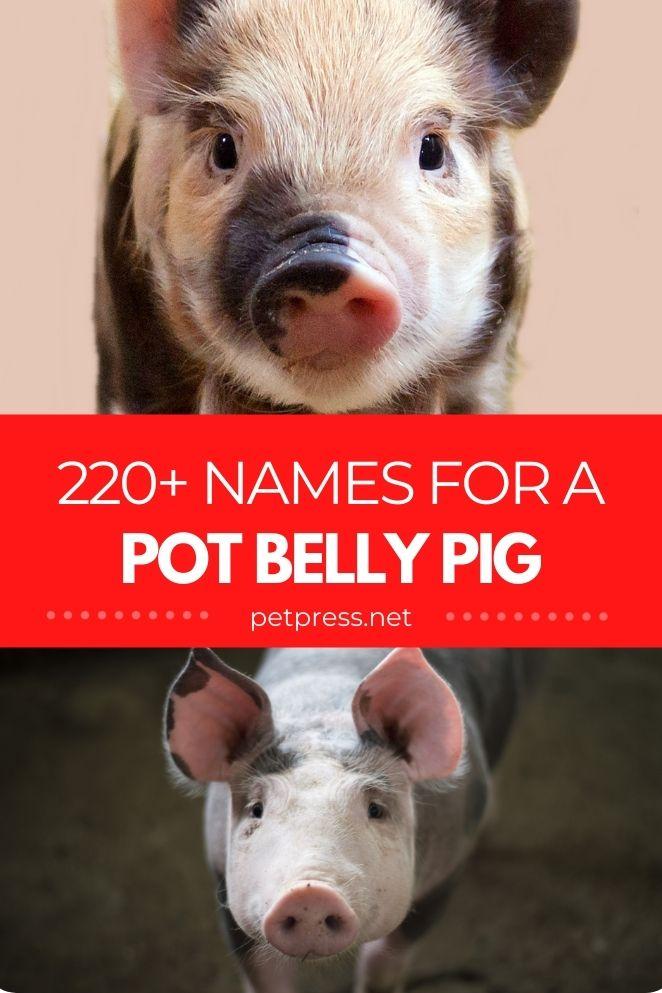 pot belly pig names